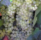 Grapes & Raisins_10